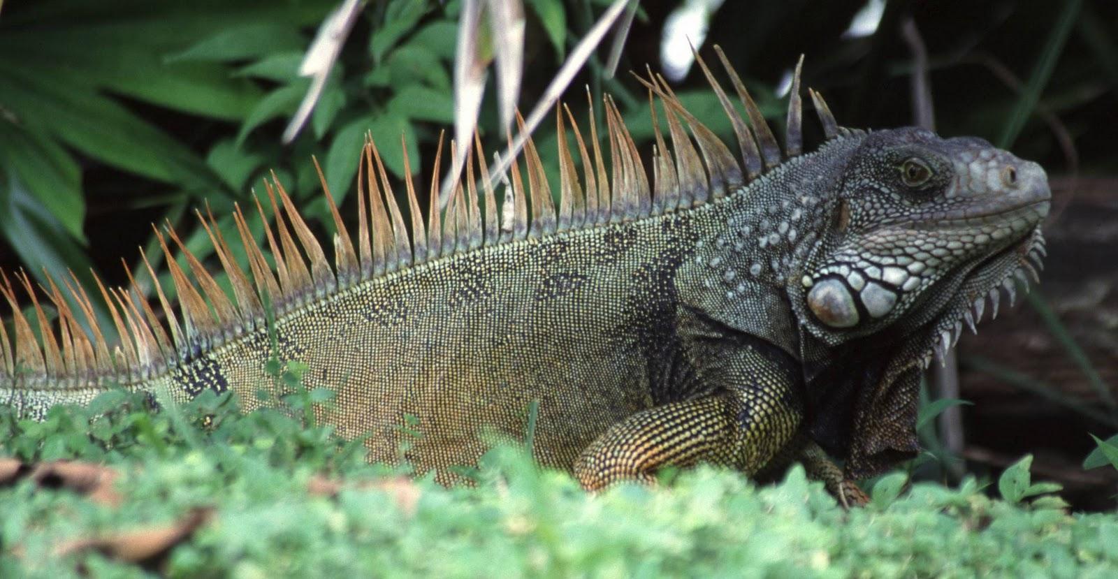 Iguana Natural Food