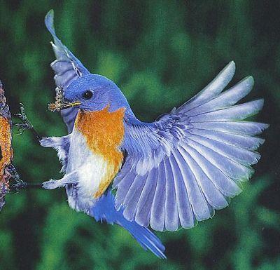 pictures: top ten beautiful birds, top 10 parrot wallpaper ... |Blue Macaw Parrot Flying