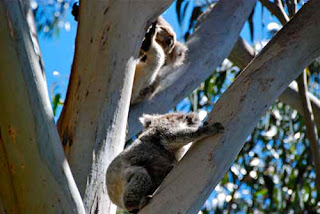 Koala bears in the Wild Australia