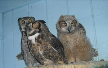 Taking Flight Fledging Time For Great Horned Owlets