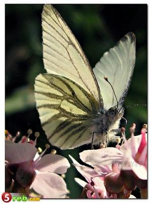 الفراشات %D8%B3.jpg