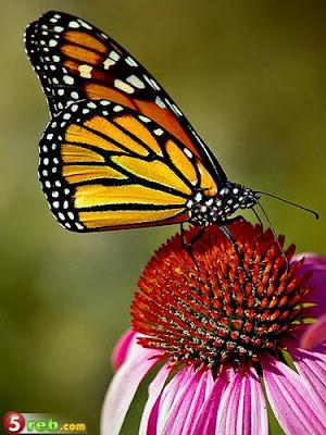 الفراشات 01%D9%8A.jpg