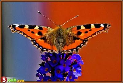 الفراشات %D8%B5.jpg