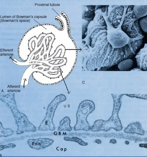 Physiology: The Renal Corpuscle