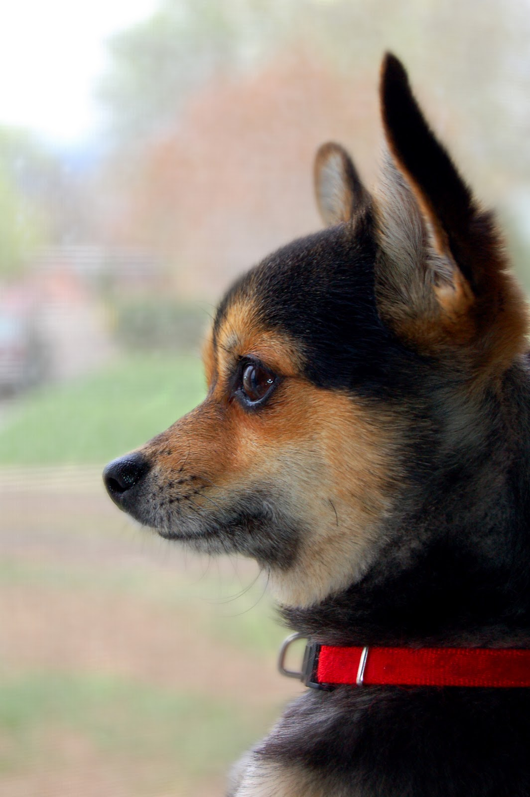 Black And Tan Chihuahua Mix