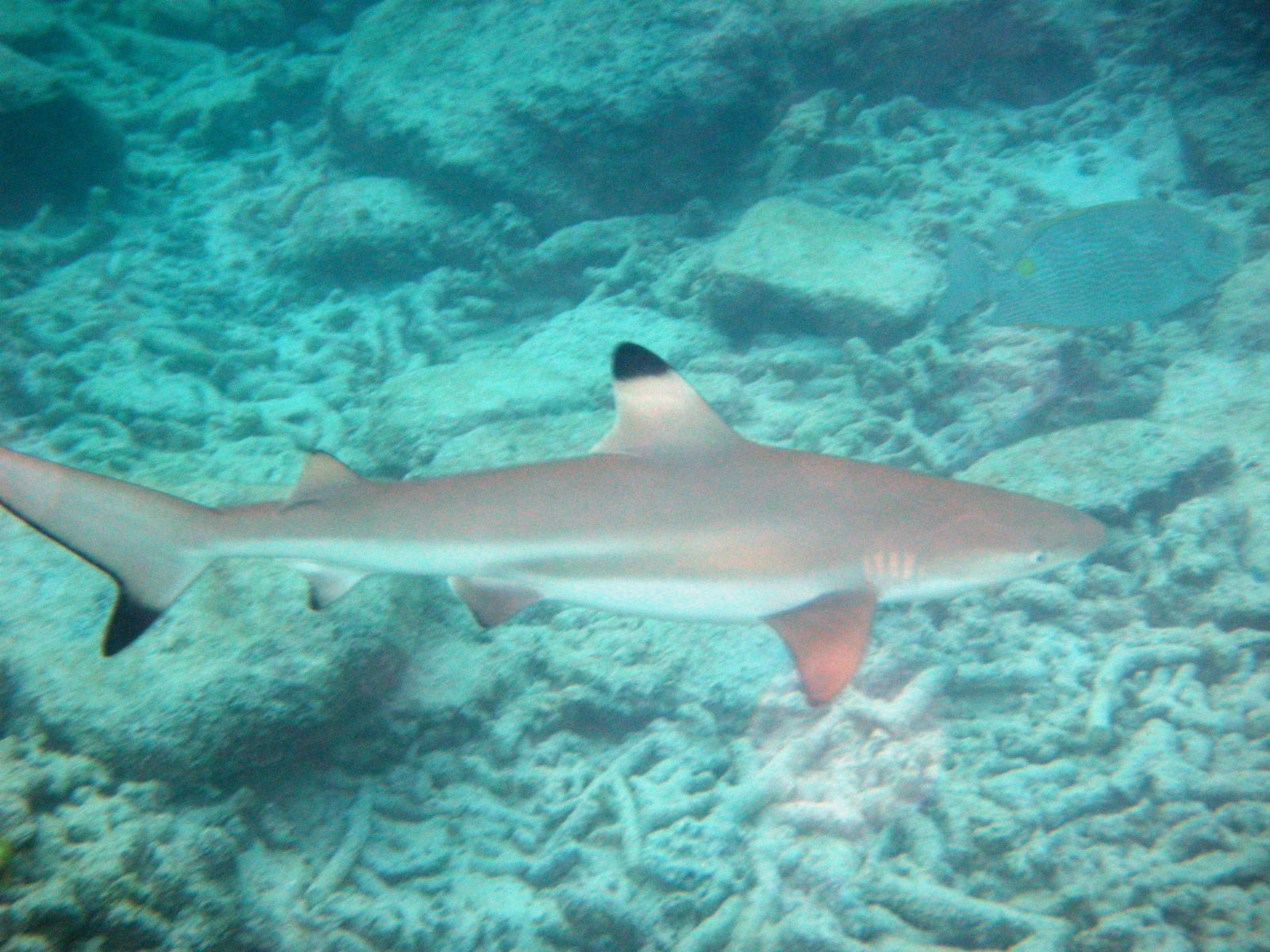 http blogs smithsonianmag com science 2013 04 baby sand tiger sharks