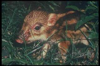 陽明山的介紹: 陽明山的代表性動物----臺灣野豬
