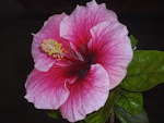 """Hibiscus Rosasinesis"" grown in ""Rudolph Cottage"" in Bangalore."