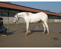appaloosa 2 anni horse country life annunci