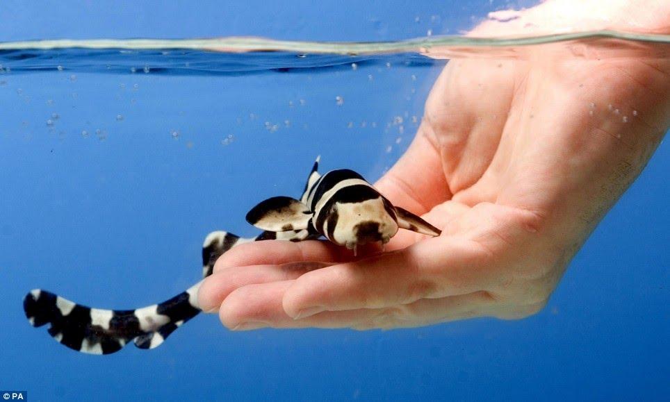 bamboo shark tank - photo #6