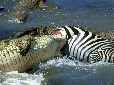crocodile deathroll on a zebra
