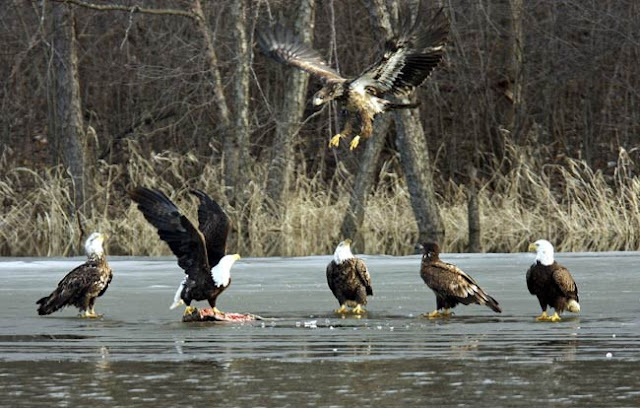 bald and golden eagles feed on a fish