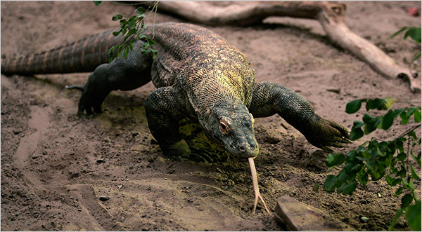 komodo dragon feeding with tounge out
