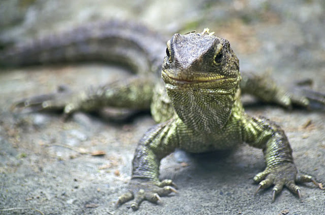 tuatara lizard from New Zealand
