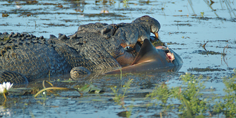 crocodile catches and eats a bull shark in a river