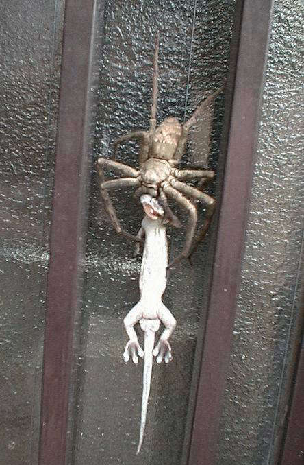 lizard caught by spider
