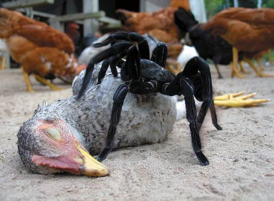 spider eating chicken