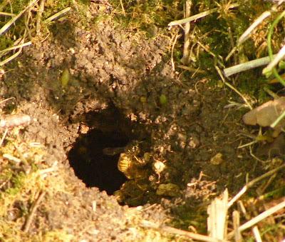 Hornets Nest In Ground