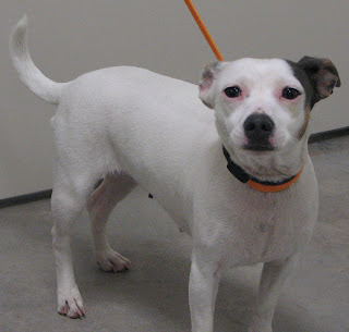 Deaf Animals Lampass Tx Pregnant Jack Russell Terrier