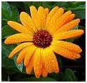 Calendula herb photo