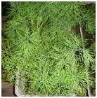 Dill herb image