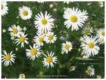 Chamomile herb photo
