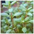 Thyme herb picture