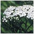 Yarrow herb photo