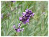 Lavender herb image