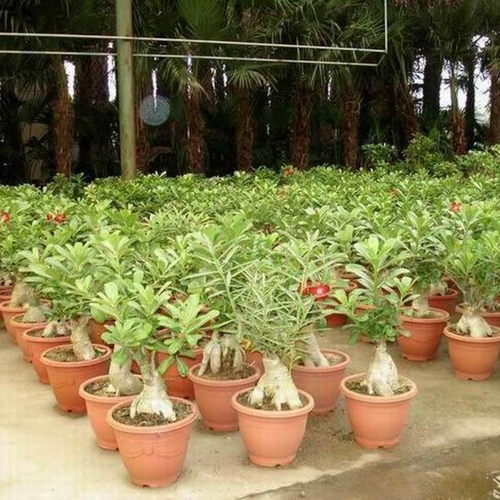 Plants Whole Bonsai Plant