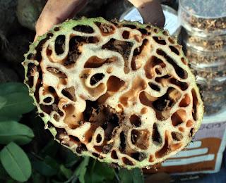 [Image: 20100107-tanaman-rumah-semut.jpg]