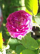 My Pink Climbing Rose, April 2010