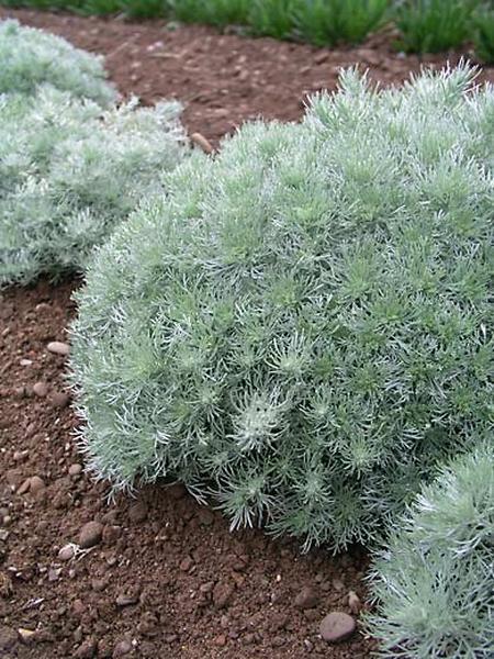 Ground Cover Plants For Sun Drought Tolerant Perennials