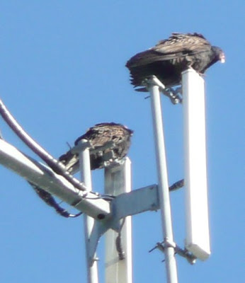 buzzards on the microwave tower