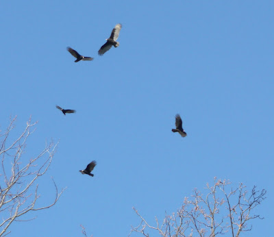 buzzards circling their roost
