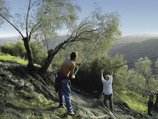 Árboles de olivo