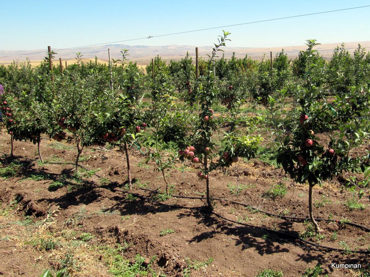 Elma ağacı nasıl ekilir