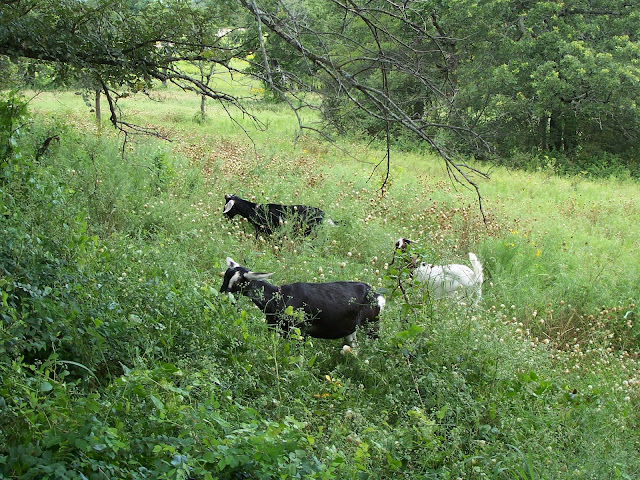 Goats keep vegetation under control, clear new land, and provide milk and meat.