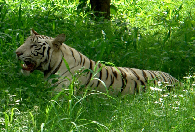 White Tiger @ Delhi Zoo: Watchful yet lazy tiger among medium high grass