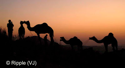 Posted by Ripple (VJ) :  Pushkar Camel Fair 2008 : Camels @ Pushkar Camel Fair 2008The small and beautiful town of Pushkar is set in a valley just about 14 km off Ajmer in the north Indian state of Rajasthan. Surrounded by hills on three sides and sand dunes on the other, Pushkar forms a fascinating location and a befitting backdrop for the annual religious and cattle fair which is globally famous and attracts thousands of visitors from all parts of the world.
