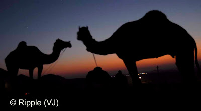 Posted by Ripple (VJ) :  Pushkar Camel Fair 2008 : Camels looking each other after sunset @ Pushkar Camel Fair 2008: The small and beautiful town of Pushkar is set in a valley just about 14 km off Ajmer in the north Indian state of Rajasthan. Surrounded by hills on three sides and sand dunes on the other, Pushkar forms a fascinating location and a befitting backdrop for the annual religious and cattle fair which is globally famous and attracts thousands of visitors from all parts of the world.