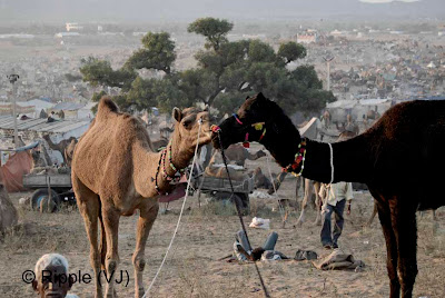Posted by Ripple (VJ) :  Pushkar Camel Fair 2008 : Camels kissing @ Pushkar Camel fair 2008