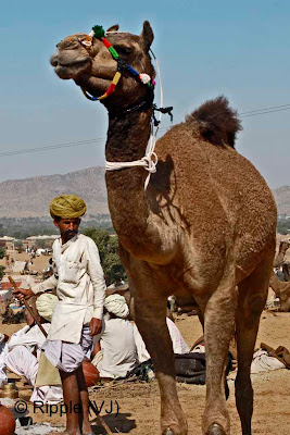 Posted by Ripple (VJ) :  Pushkar Camel Fair 2008 : Camel Trader waiting for the buyer @ Pushkar Camel fair 2008