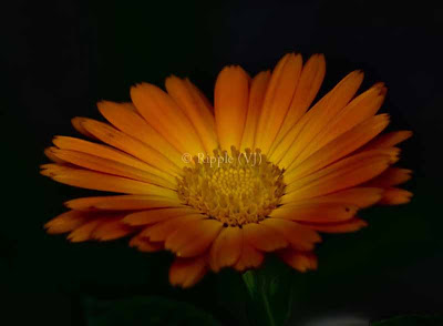 Posted by Ripple (VJ) : Corbett National Park : Orange flower...