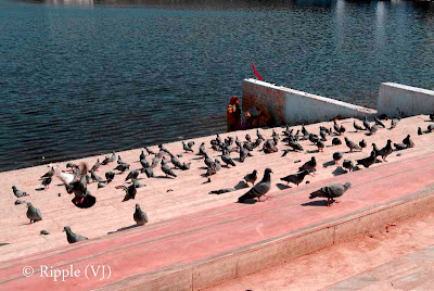 Posted by Ripple(VJ) : Glimpses of Pushkar-Ghats around Puhkar-Lake during Camel Fair-2008 (Pushkar Lake is actually surrounded by different Ghats/Temples... ):: Pigeons @ Jaipur Ghat, Pushkar