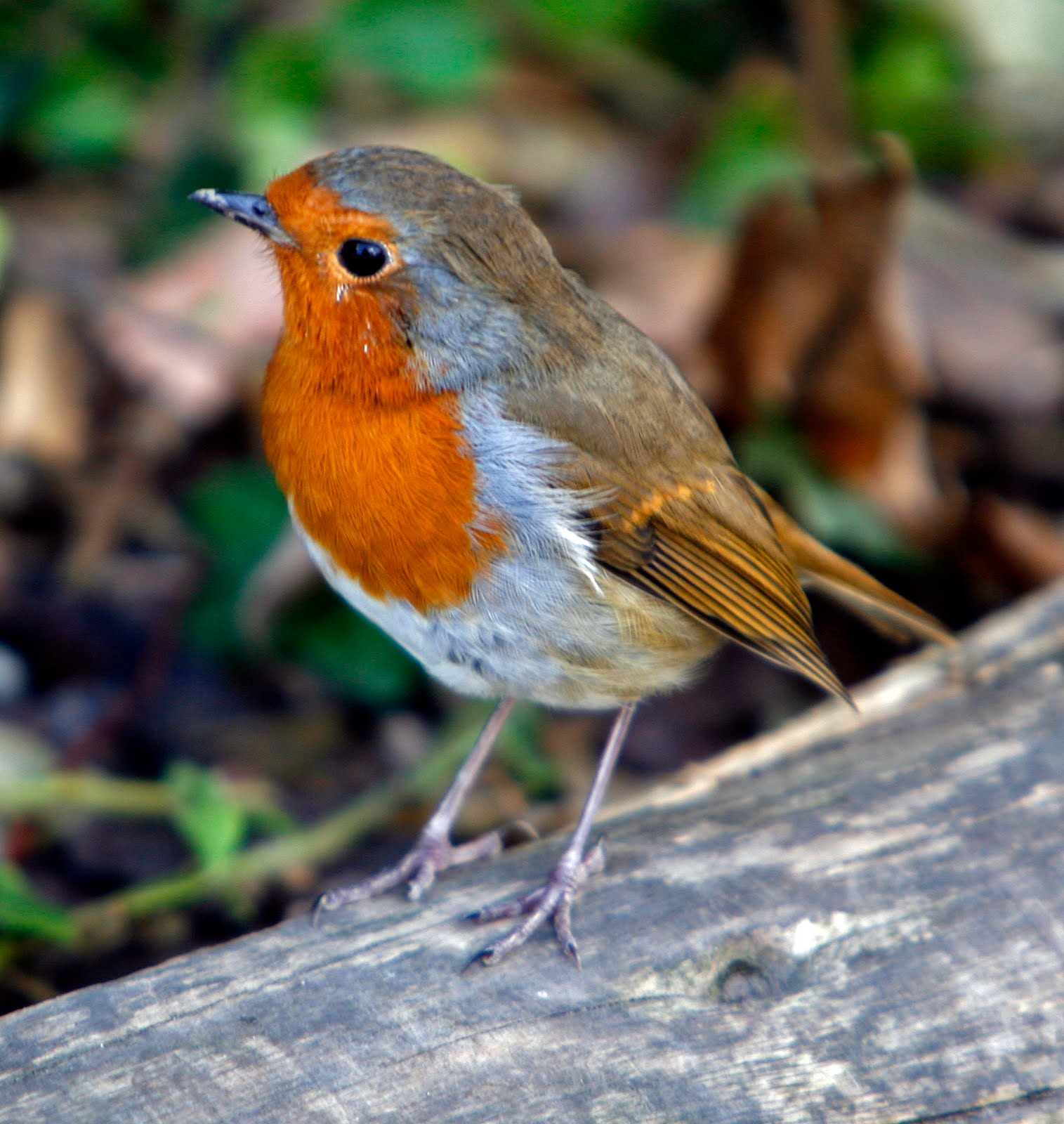 Advent: Blogging for Advent: Robins