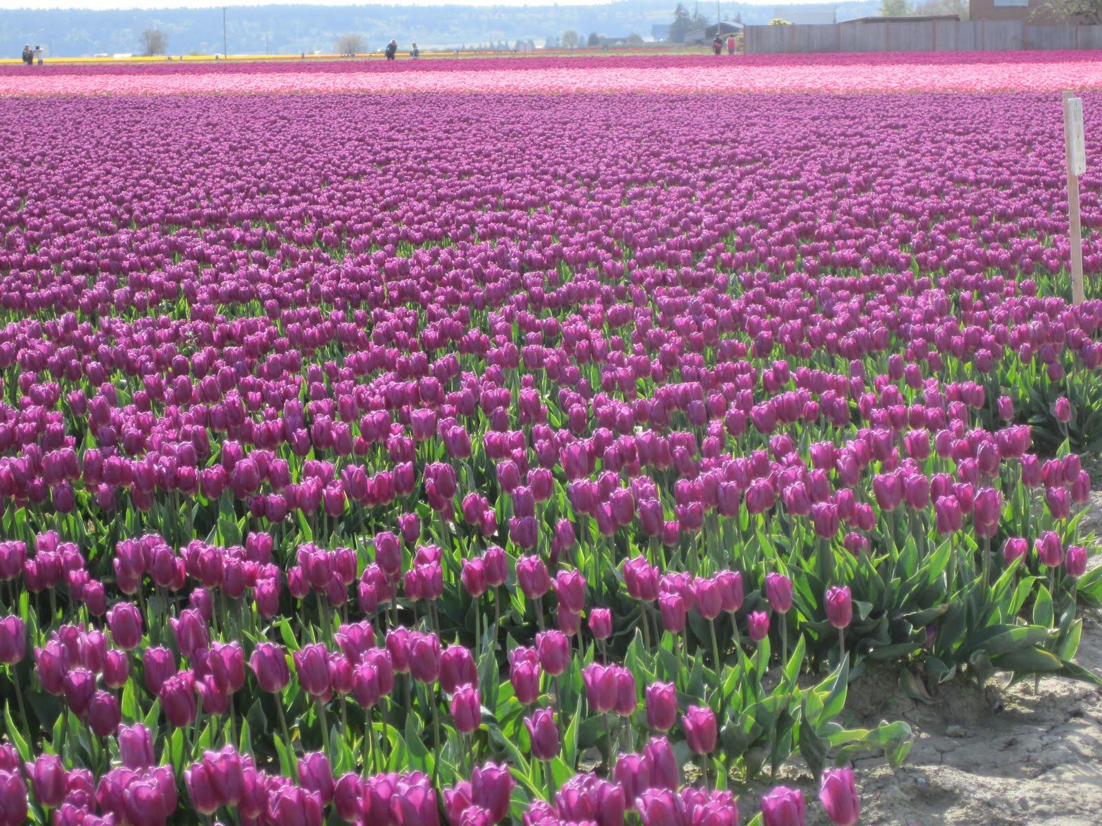Scene Through My Eyes: Tulip Festival