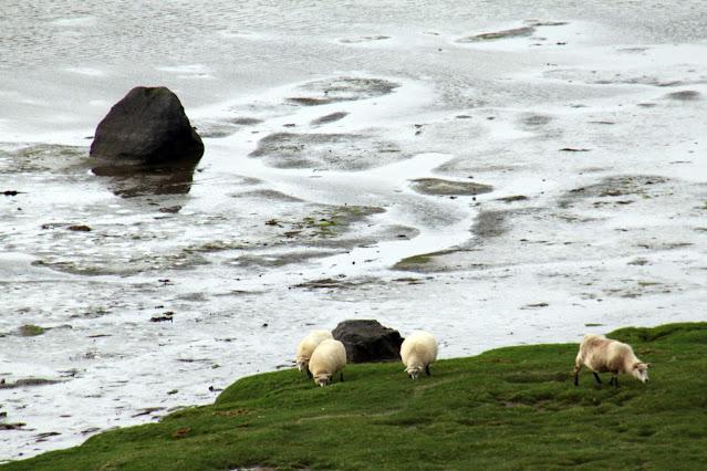 Pecore dopo lo sbarco dal traghetto Baldur