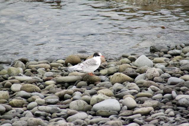 Uccello sull'Isola di Vigur