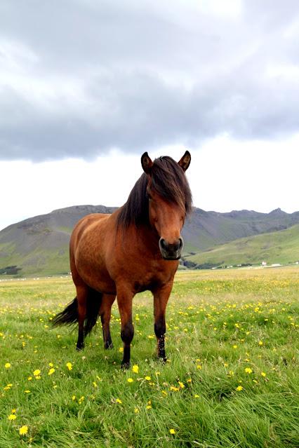 Cavallo islandese ad Hella